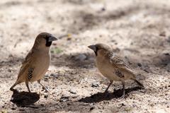 sociable weaver bird at kgalagadi - stock photo
