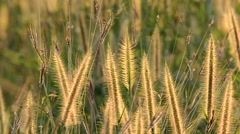 Grass flowers with rim light in field. Beautiful nature background. Stock Footage