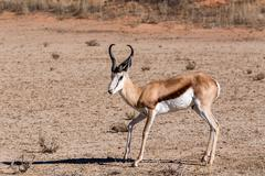 Springbok antidorcas marsupialis in kgalagadi, south africa Stock Photos