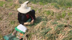 Farmers harvest onion on the field, Asia Stock Footage