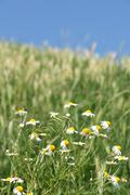 Stock Photo of chamomile flower meadow spring season