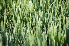 Green wheat with dew drops spring season Stock Photos