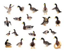 ducks on white background - stock photo