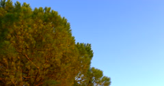 Pine tree and clean blue sky, 4K Stock Footage