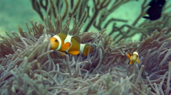 Stock Video Footage of anemony clown fish