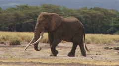 A bull elephant walking slowly Stock Footage