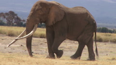 A big tusker elephant walking across camera Stock Footage