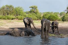 African elephants (Loxodonta africana), Chobe National Park, Botswana, Africa Stock Photos