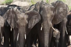 African elephants (Loxodonta africana), Chobe National Park, Botswana, Africa Stock Photos