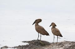 Hamerkop (Scapus umbretta), Khwai Concession Area, Okavango Delta, Botswana, - stock photo
