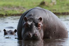Hippopotamus (Hippopotamus amphibius), Khwai Concession Area, Okavango Delta, - stock photo