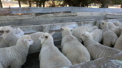 Flock of sheep in dusty farm yards ready for shearing Stock Footage