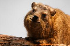 Rock hyrax, procavia capensis Stock Photos
