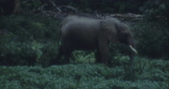 Elephant in the Wood Afrika 60s 16mm - stock footage