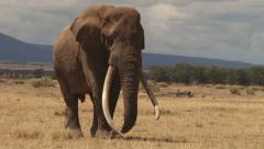 An elephant with very long tusks - stock footage