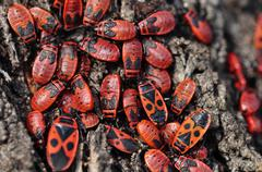 Firebug insects Stock Photos