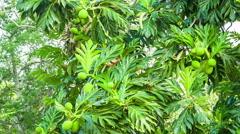 Tropical papaya tree with fruits Stock Footage