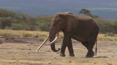Bull elephant walking in Amboseli park Stock Footage