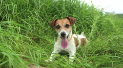 Dog small play nature Stock Footage