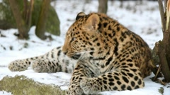 Stock Video Footage of Juvenile (9-months) Amur leopard