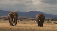 Two bull elephants with mountains in the background Stock Footage