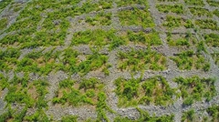 Primosten Vineyards, aerial shot Stock Footage