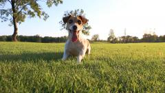 Active playfull dog Stock Footage
