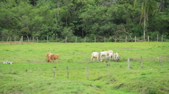 Cattle at the grass Stock Footage