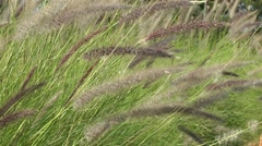 Tall Grass Waving In Wind Stock Footage