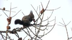 Squirrel feeding on a branch Stock Footage