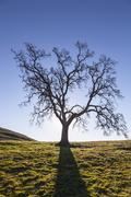 Lone oak leafless silhouette Stock Photos