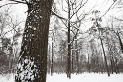 Snow covered oak tree on the edge of forest Stock Photos