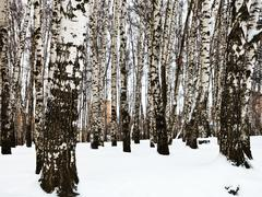 bare tree trunks in urban birch park - stock photo