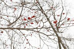 Frozen bunches of red rowan berry on tree Stock Photos