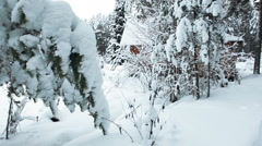 Pine tree branches covered with snow hanging at winter season. Karelia, Russia - stock footage