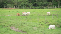 Cattle eating in the green field Stock Footage
