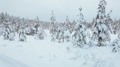 Covered with snow pine trees standing on winter swamp in Karelian forest Stock Footage
