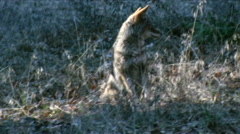 Coyote in wild grass near Yosemite Falls Stock Footage