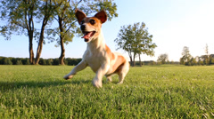 Small dog play grass Stock Footage
