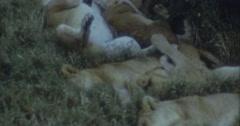 Lions Sleeping Shadow Safari Afrika 16mm 60s Stock Footage