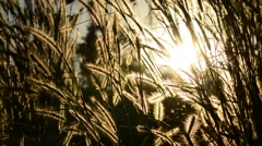 Grass flowers with rim light and sun , Beautiful nature background. Stock Footage