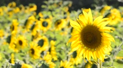 Sun flowers in a field. - stock footage