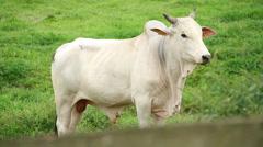Bull in field Stock Footage