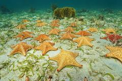 cluster of starfish underwater on ocean floor - stock photo