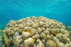 Reef with lobed star coral Stock Photos