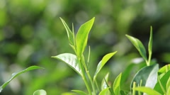 Stock Video Footage of Video 1920x1080 - Young green leaves and leaf bud the tea tree on plantation