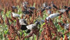 The birds devastate millet and sorghum fields Stock Footage
