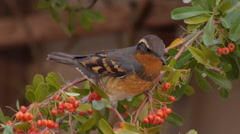 A Varied Thrush Eating Red Berries - stock footage
