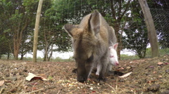 Close-up view of kangaroo and joey eating - stock footage
