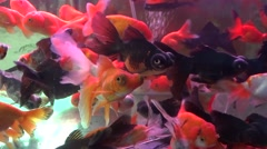 Many goldfish swimming in the fish tank - stock footage